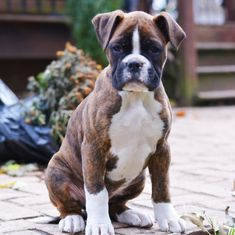 Boxer puppy for sale in GAP, PA. ADN-55314 on PuppyFinder.com Gender: Male. Age: 10 Weeks Old