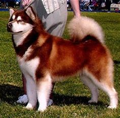 Red Alaskan Malamute, a LONG TIME dream of mine!