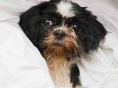 NEEDS IMMEDIATE FOLLOW UP VET CARE!! SUPER URGENT Manhattan Center 10/22/16 ADELINA – A1094357 ***NEEDS IMMEDIATE FOLLOW UP VET CARE*** FEMALE, WHITE / BLACK, SHIH TZU MIX, 10 yrs STRAY – STRAY WAIT, NO HOLD Reason STRAY Intake condition UNSPECIFIE Intake Date 10/22/2016, From NY 10459, DueOut Date 10/25/2016,