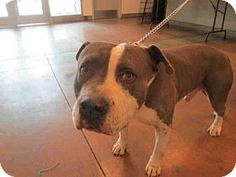 Van Nuys, CA - Staffordshire Bull Terrier. Meet POPEYE, a dog for adoption. http://www.adoptapet.com/pet/12899605-van-nuys-california-staffordshire-bull-terrier