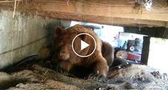 Homem Corajoso é Várias Vezes Ameaçado Por Urso Ao Tentar Afugenta-lo Do Seu Quintal http://www.desconcertante.com/homem-corajoso-ameacado-urso-tentar-afugenta-quintal/