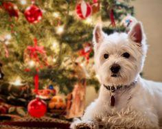 https://flic.kr/p/i7VsrH | It's always a Westie Christmas...