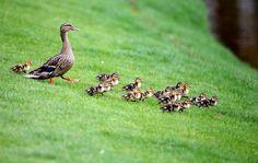 Une famille de canards à Charlotte en Caroline du Nord