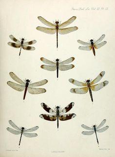 Dragonflies!  1. Cannacria batesii2. Trithemis attenuata3. Aethriamanta brevipennis4. Untamo apicalis5. Lyriothemis braueri6. Deielia fasciata7. Pseudoleon superbus8. Nesoxenia cingulata9. Anatya anomala  Transactions of the Zoological Society of London.1890.