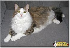 Read Arabella the Maine Coon Cat's story  from Pennsylvania and see her photos at Cat of the Day http://CatoftheDay.com/archive/2013/July/08.html .