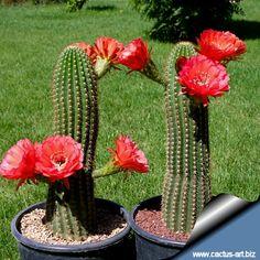 Trichocereus grandiflorus is such a robust individual. Description of cactus-a … Cactus House Plants, Tiny Cactus, Indoor Cactus, Cactus Flower, Cactus Cactus, Cactus Decor, Cacti And Succulents, Planting Succulents, Planting Flowers