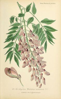 img/dessins plantes et fleurs jardins et appartements/dessin de fleur de jardin 0143 glycine - wistaria sinensis.jpg