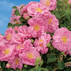 Bulb Flowers, Pink Flowers, Pink Roses, Rose Diseases, Weeks Roses, Perennial Bulbs, Spring Hill Nursery, Clematis Vine, Shrub Roses