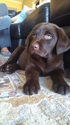 my chocolate lab. Cute Puppies And Kittens, Really Cute Puppies, Super Cute Puppies, Cute Little Puppies, Labrador Retriever Chocolate, Chocolate Lab Puppies, Golden Retriever, Chocolate Labs, Cute Baby Animals