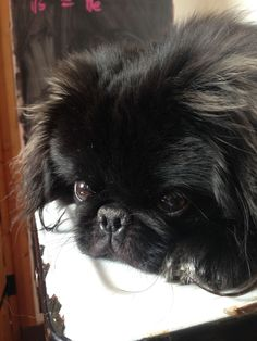 Images For > Black Pekingese Dog Yorkies, Pekingese Puppies, Animals And Pets, Baby Animals, Cute Animals, Cute Animal Pictures, Dog Pictures, Baby Dogs, Dogs And Puppies