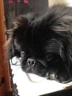 Black Pekingese Dog