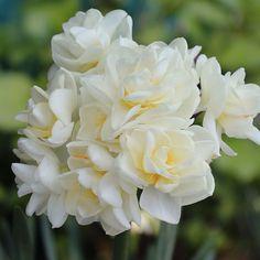 Daffodil - Erlicheer - GardenPost