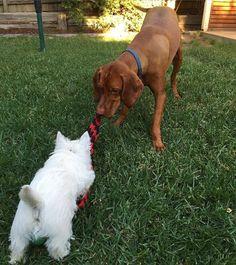 'Hey do you wanna play tug-of-war with me? I'll play fair!' #vizsla #hungarianvizsla #vizslasofinstagram101 #vizslagram #vizslasofinstagram #puppy #cute #love #ilovemydog #petcorner #petsofinstagram #dog #cutedogs #cutepuppies #ilovemypuppy #dogsofinstagram #lovewoofs #cute #birddogoftheday #velcrodog #purebreed #westie #westhighlandterrier #westiesofinstagram  by chesterthevizsla  http://bit.ly/teacupdogshq