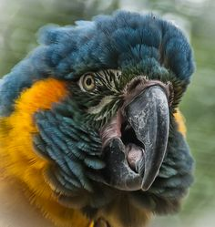 Blue-throated Macaw. (Re-pinned from Pinterest.)