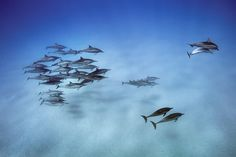 Picture of spinner dolphins in Hawaii