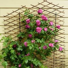 climbing rose on trellis to left of french doors against house -