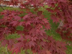 Dig Deep: How to Plant a Japanese Maple