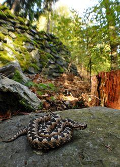 European nose-horned viper Vipera ammodytes ~ by markusOulehla