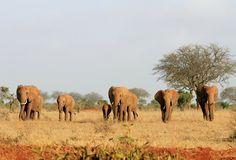 A herd of elephants walk in the Tsavo East National Park, 280 kilometers (173 miles) east of Kenya's capital of Nairobi on February 10, 2011.