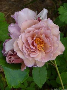 'Lavender Pinocchio ' Rose