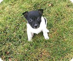Richmond, MI - Rat Terrier/Jack Russell Terrier Mix. Meet Merry And Chrissy, a puppy for adoption. http://www.adoptapet.com/pet/14579002-richmond-michigan-rat-terrier-mix