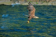 White-tailed Eagle seen on one of our Mull and Speyside Easter holidays. Photo by Dave Kjaer.