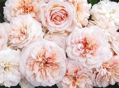 Gruss An Aachen Antique Floribunda Rose - Unavailable -- need to reorder Herb Garden, Garden Plants, Floribunda Roses, Heritage Rose, Bloom Where Youre Planted, Giant Flowers, Types Of Plants, Planting Seeds, Front Design