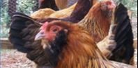 Lice on Chickens Organic Treatment