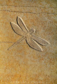Dragonfly fossil, Solnhofen, Germany. Photo credit: Frans Lanting