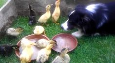 Sweet Border Collie babysits ducklings (VIDEO)