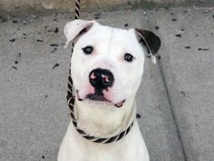 TO BE DESTROYED 9/12/14 Brooklyn Center -P **PUPPY ALERT**  My name is DISEL. My Animal ID # is A1012654. I am a male white and br brindle pit bull mix. The shelter thinks I am about 1 YEAR   I came in the shelter as a STRAY on 09/02/2014 from NY 11224, owner surrender reason stated was ABANDON. I came in with Group/Litter #K14-192667.