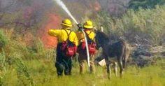 Les pompiers ont sauvé un âne d'un feu de forêt et maintenant, il ne veut plus les quitter.