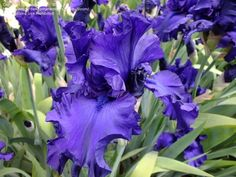 View picture of Tall Bearded Iris 'Dusky Challenger' (Iris) at Dave's Garden.  All pictures are contributed by our community.