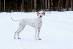 Top 10 Most Beautiful Dog Breeds List In The World - dalmatians - Chien Le Plus Grand Chien, Pet Dogs, Dogs And Puppies, Pets, Most Beautiful Dog Breeds, Rare Dogs, Dog Breeds List, Australian Shepherd Dogs, Interesting Animals