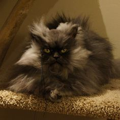 colonel meow on stairs