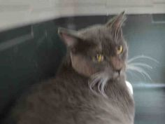 ZAZZEE - A1049020 - - Brooklyn *** TO BE DESTROYED 08/28/15 *** HANDSOME GREY GUY IS SHY…ZAZEE is a two year old who looks like he may have been someone's pet but is fearful and scared at the ACC….He did allow for some interaction but could certainly use a patient PURRSON to help him regain his confidence. THERE IS NOTHING MORE REWARDING THAN WATCHING A CAT COME INTO THEIR OWN!! PLEASE BE THAT PURRSON FOR ZAZEE….OFFER TO FOSTER OR ADOPT NOW!! - C