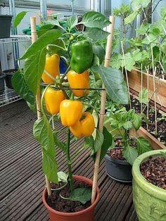 Vertical Vegetable Gardens, Backyard Vegetable Gardens, Potager Garden, Container Gardening Vegetables, Veg Garden, Vegetable Garden Design, Planting Vegetables, Fruit Garden, Edible Garden