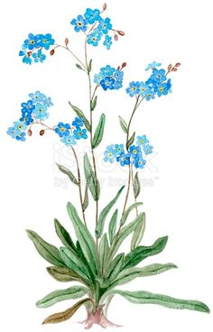 Colored pencil illustration of Forget-me-not flower isolated on white background.Click below to see more: