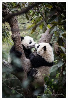 Pandas | Flickr - Photo Sharing!