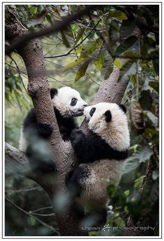Pandas | Flickr - Photo Sharing!