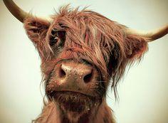 hairy moo by paul alsop via http://onebigphoto.com/hairy-moo/. Scottish Highland Cow.