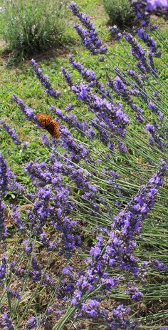 Butterfly at La Maison Lavende sitting on lavender fields in Sainte-Eustache, Quebec.