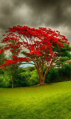 Royal poinciana (flamboyant tree) in Puerto Rico • photo: Rene Rosado on 500px