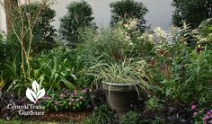 Aztec grass in container for garden contrast Central Texas Gardener