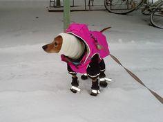 Winter is coming... | Miniature Pinscher