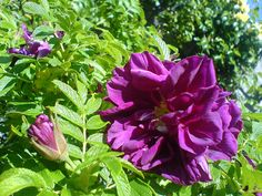 'Roseraie de l'Hay' (Rugosa Hybrid) - lovely buds open into large, purple-Crimson flowers; double blooms with a strong fragrance and creamy stamens; dense growth with dark green foliage; few hips; disease resistant; 6'x4'; Z3.