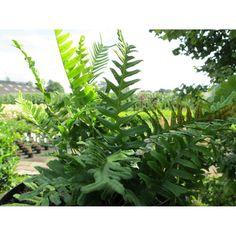 Polypodium vulgare. Eikvaren. Wintergroen. Verbena, Geraniums, Garden Planning, Plant Leaves, How To Plan, Plants, Plant, Garden Design, Yard Design