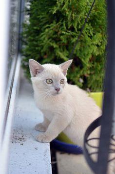 Alvin The Lilac Burmese Kitten Cute Cats Photos Burmese Kittens Cute Cats