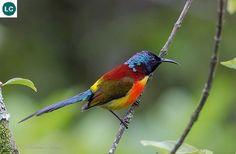 Hút mật đuôi lục/Hút mật Nepal tiểu lục địa Ấn Độ và Đông Nam Á   Green-tailed sunbird (Aethopyga nipalensis)(Nectariniidae)(Aethopyga) IUCN Red List of Threatened Species 3.1 : Least Concern (LC)   (Loài ít quan tâm)