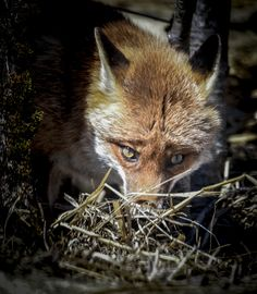 Red Fox by Philippe Constantin on 500px